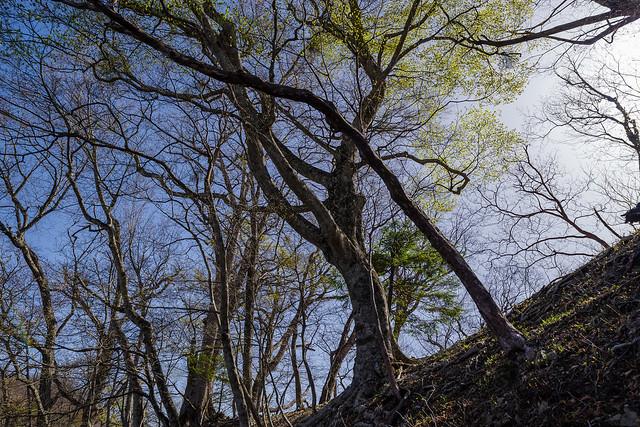 芽吹き始めたブナの大木