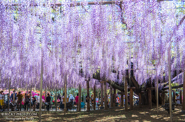 2017.May Ashikaga flower park@Tochigi足利紫藤