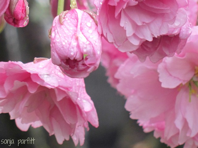 sweet blossoms, Canon POWERSHOT S90