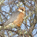 Red-Footed Falcon (Kevin Elsby)