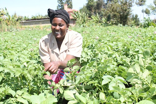 FIPS farmer Doreen Wanja in a potato plot of Asante variety. She bought 20 kg from VPA Catherine Kirema of Karimbene village, Nkuene Ward.