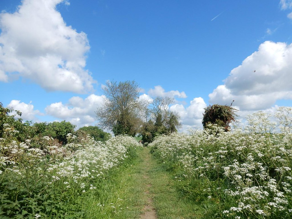 Cow parsley Baldock Circular