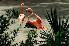 Male Flamingo