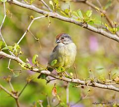 Cuban Sparrow-Cabrerito cubano-Torreornis inexpextata varonai-