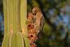 Gila Woodpecker on Mexican Fencepost Cactus