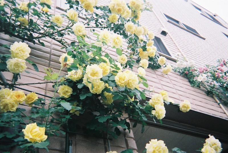 池袋二丁目写ルンです。バラの絡まる家