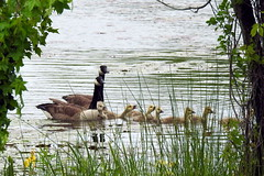 Canada Geese in Lake Artemesia