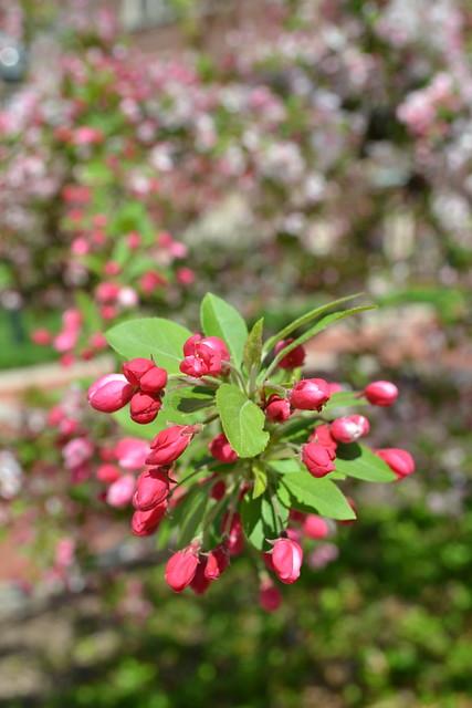 Spring Blossoms, Nikon D3100, AF-S DX VR Zoom-Nikkor 18-55mm f/3.5-5.6G