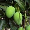 #buah #mangga #mango #fruit #frucht #obst