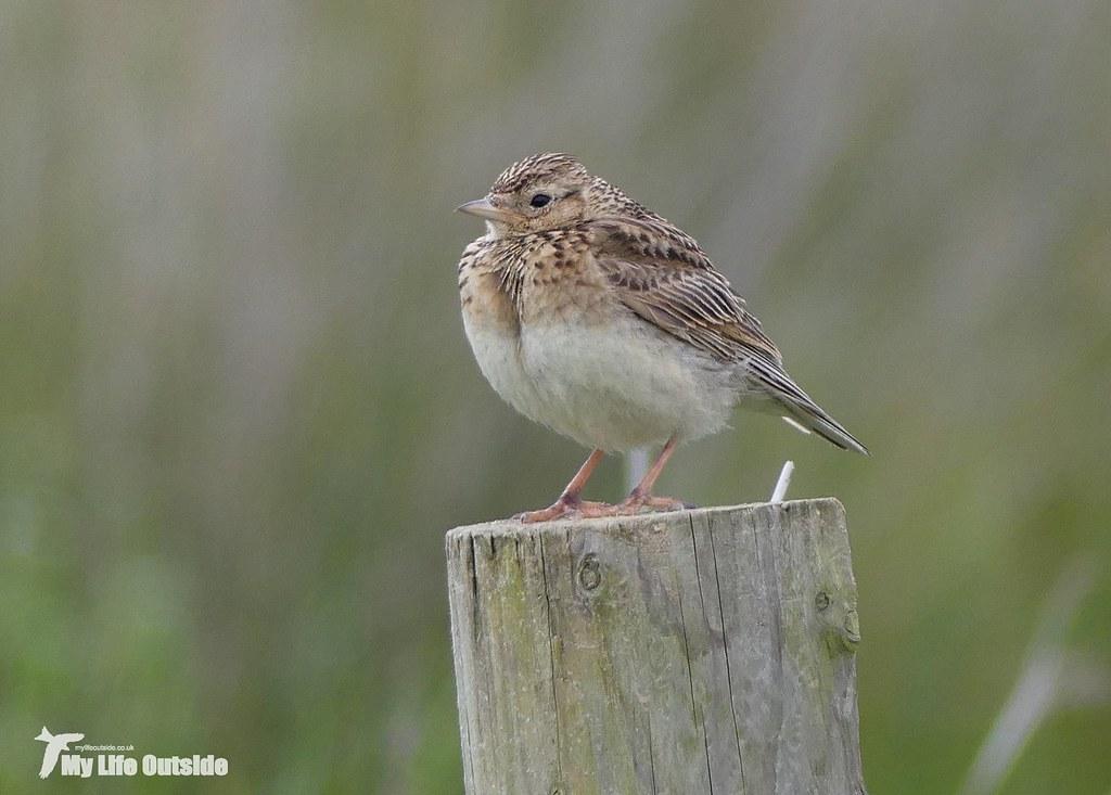 P1090122_2 - Juvenile Skylark, Whiteford
