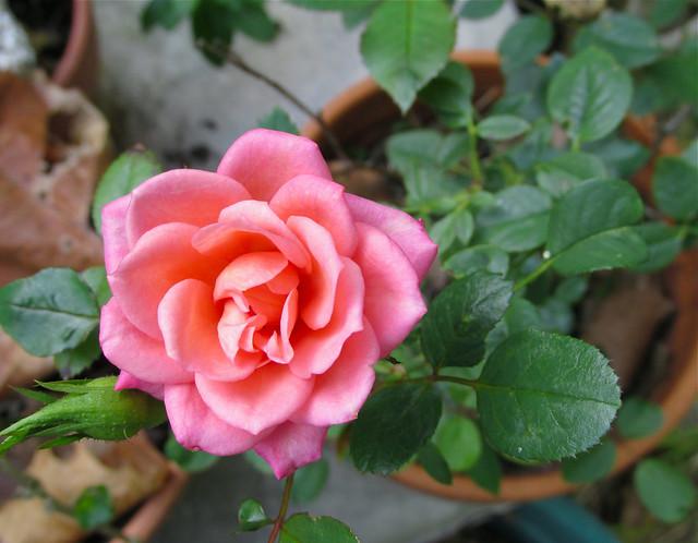 Miniature Rose, Canon POWERSHOT SX170 IS