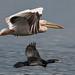 Carpathian Pelican and Pygmy Cormorant (Judith Rolfe)