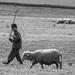 Romanian Shepherd (Judith Rolfe)