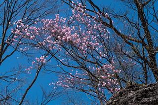 川苔山への稜線に咲くアカヤシオ2