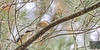 Sacred Kingfisher 54