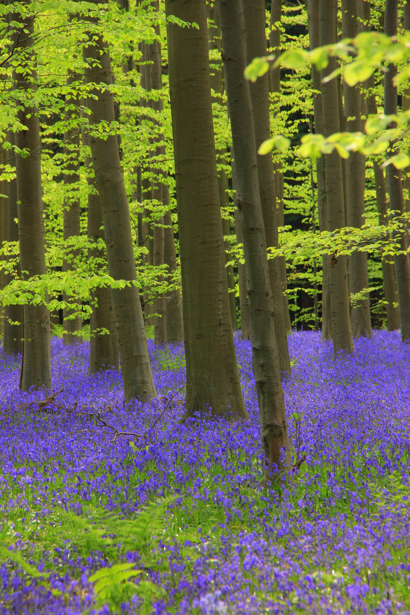 Bluebells in hallerbos blue forest in belgium thrive under beech trees