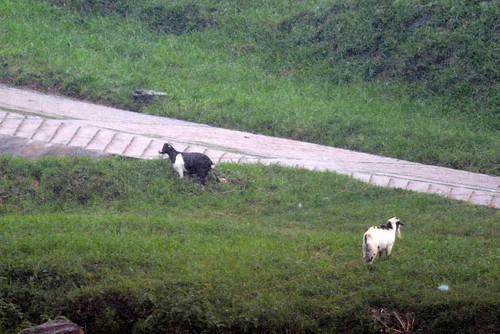 africa uganda jinja idindha sourceofthenile wildlife bird lake victoria goat nalubaale
