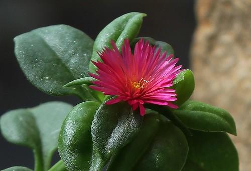 Aptenia cordifolia (2)
