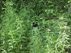 Hidden Cat (II)