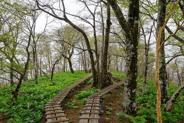 ブナとバイケイソウの木道