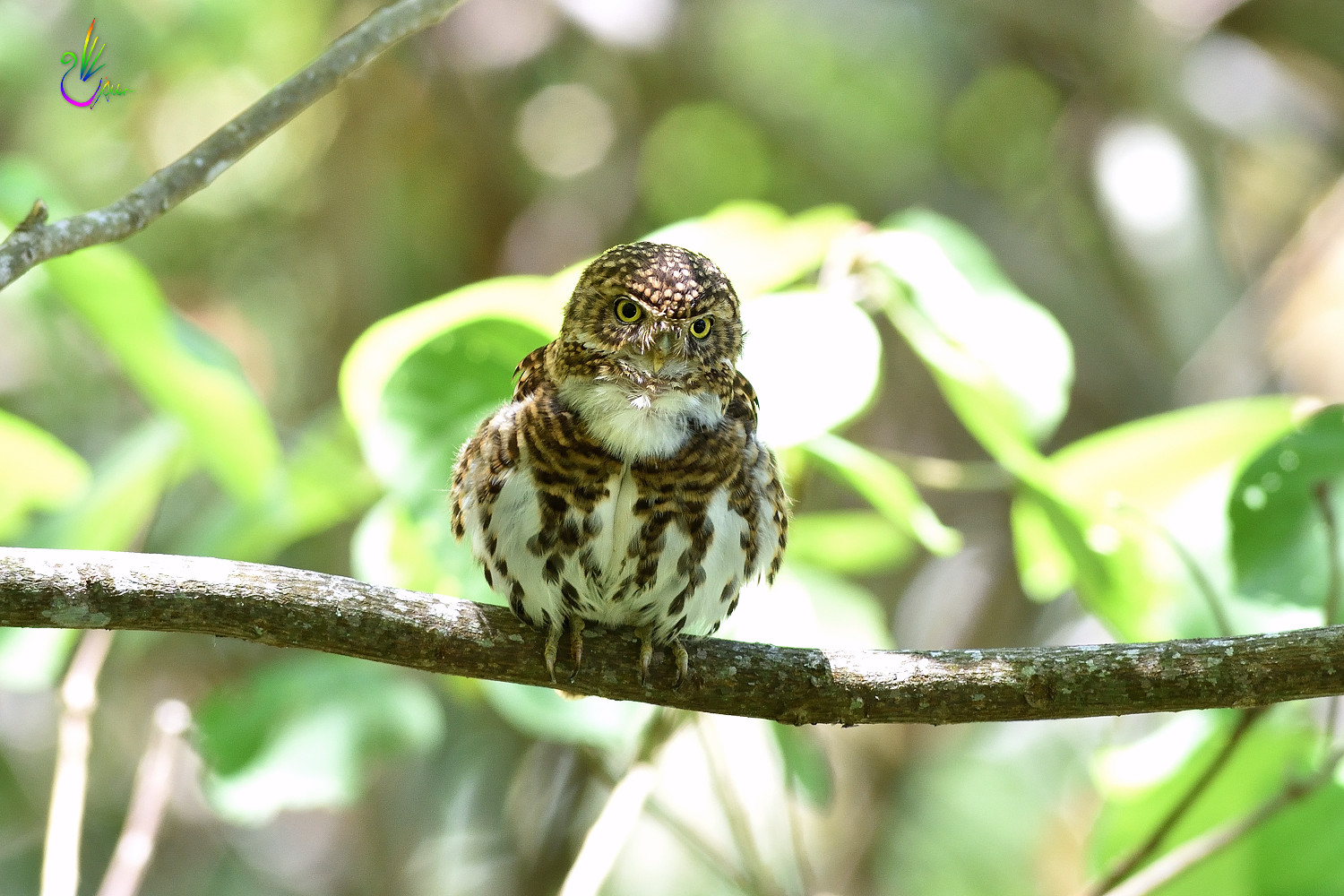 Collared_Pigmy_Owlet_4191