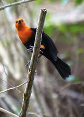 Memphis Zoo 08-31-2016 - Scarlet headed Blackbird 4