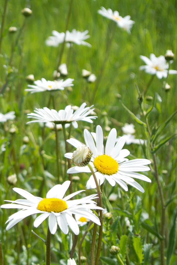 Daisies Princes Risborough to Great Missenden