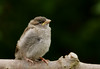 Fledgling - house sparrow