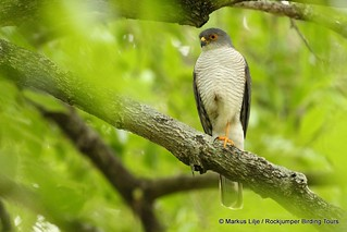 Little Sparrowhawk, Lower Sabie -005