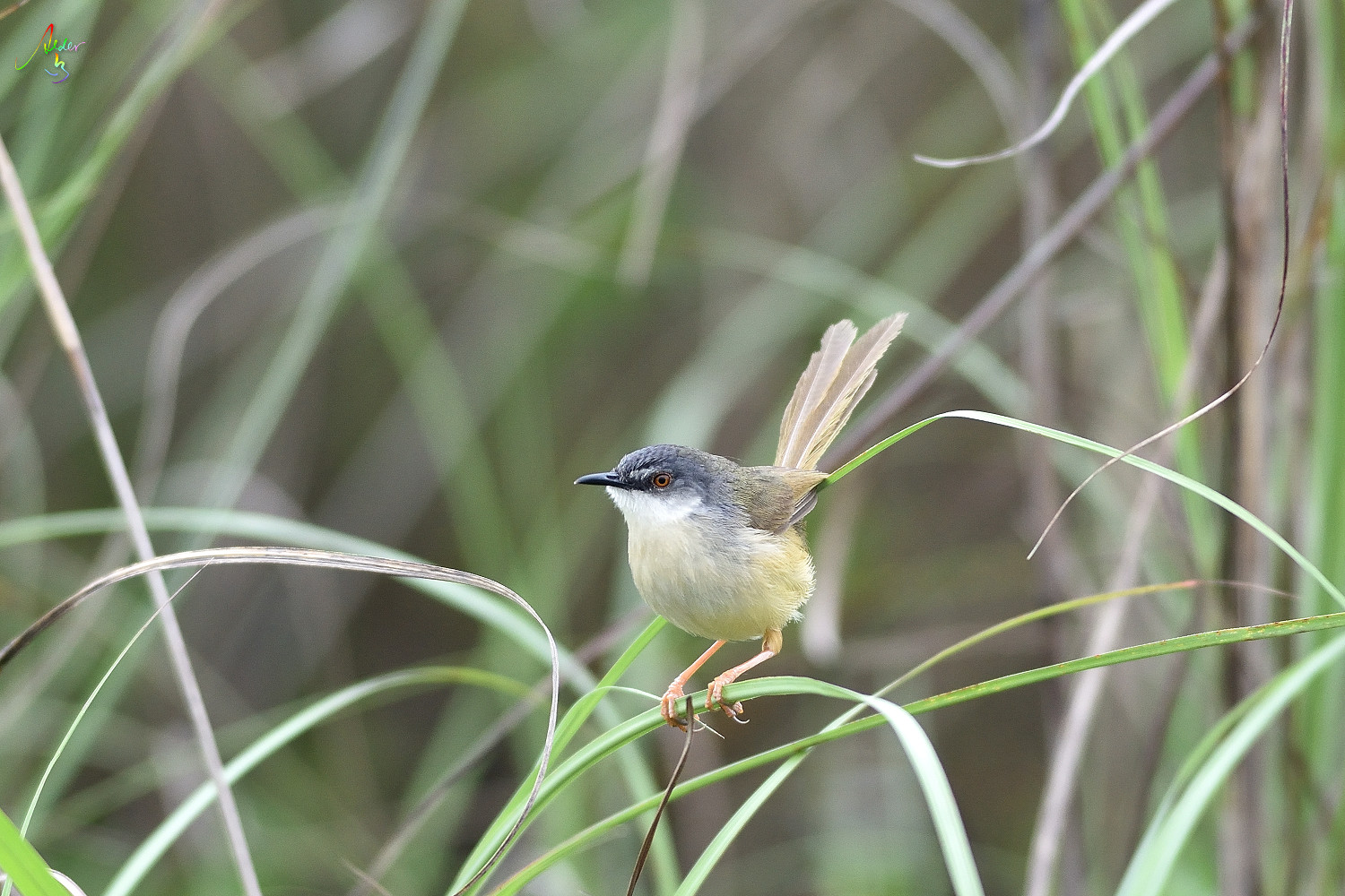 Yellow-bellied_Prinia_3636