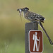 Greater Roadrunner with Prey by Ingrid Taylar