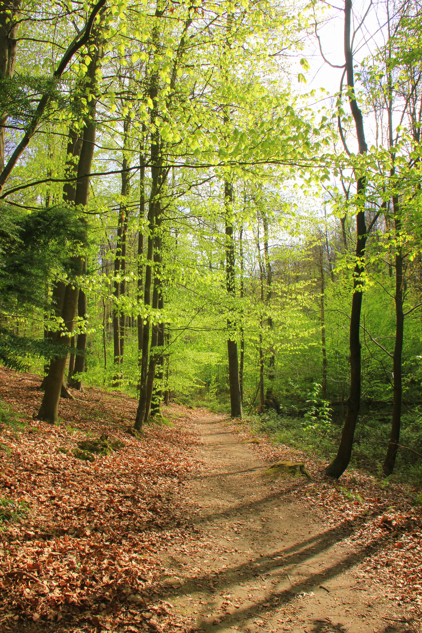 hallerbos is a lovely forest in belgium