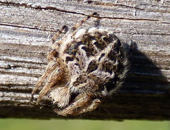 Spider in Heartwood Forest