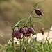 Fritillaria meleagris by atranswe