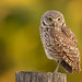 Mother Owl by MDanielsonPhoto