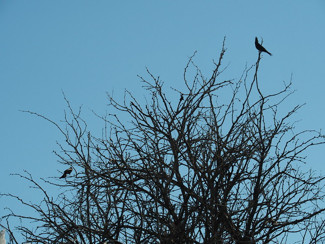 Q3246405 Joshua Tree Visitor center Oasis of Mara phainopepla