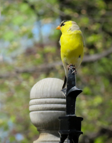 spring wildlife nature birds outdoors goldfinch finch yellow americangoldfinch backyardbirds