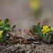 Lesser Trefoil - Trifolium dubium