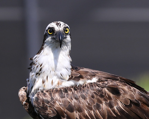 bird osprey fish eagle hawk rapture sea river fisheating prey