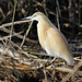 Squacco Heron (Kevin Elsby)