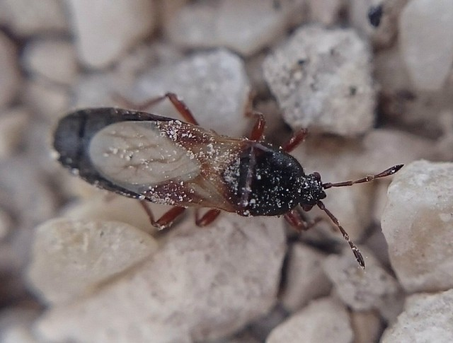 Dimorphopterus spinolae - karcsú bodobács