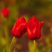 Small photo of Affectionate Tulips