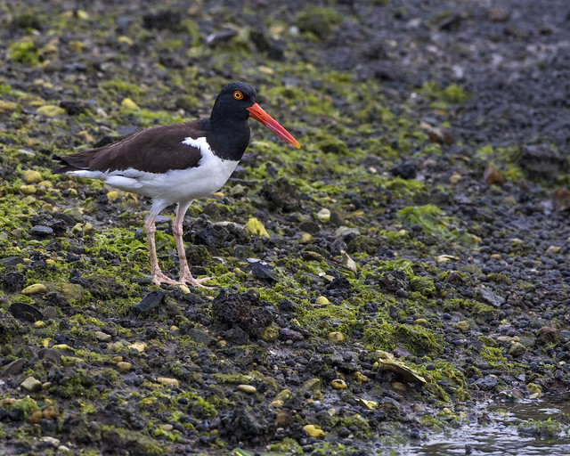 Oystercatcher, Canon EOS 7D MARK II, Canon EF 500mm f/4L IS