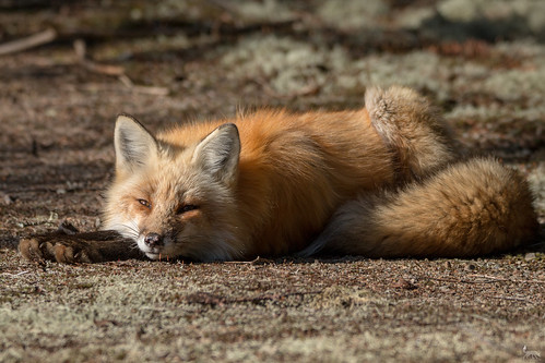 Lazy morning for Foxy