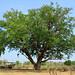 Shade under the Mango Tree (Nick Scarle)