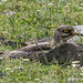 Eurasian Stone-curlew (Judith Rolfe)