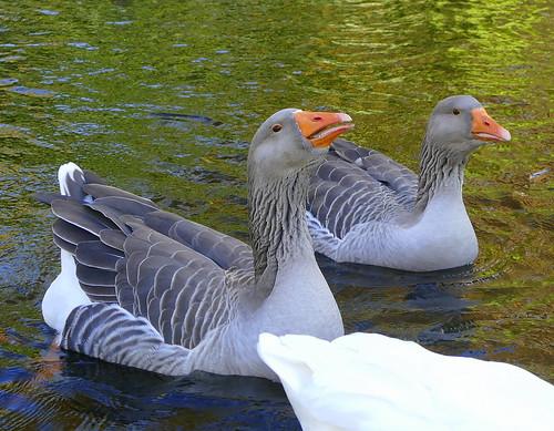 toulousegeese tievetaragardens mountmacedon lake victoria australia famousflickrfivegroupouting