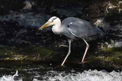 HolderGrey Heron
