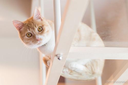 アトリエイエネコ Cat Photographer 33804057553_d40bafe711 保護猫カフェ カーラ・キャット・カフェ