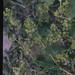 Small photo of Alchemilla vulgaris against Pentwyn reservoir. July 1971.
